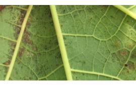 การป้องกันไรแดง ศัตรูตัวฉกาจของมะละกอ