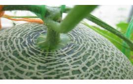 บูเวริน + ไลซินัส ป้องกันกำจัดแมลงศัตรูเมล่อน